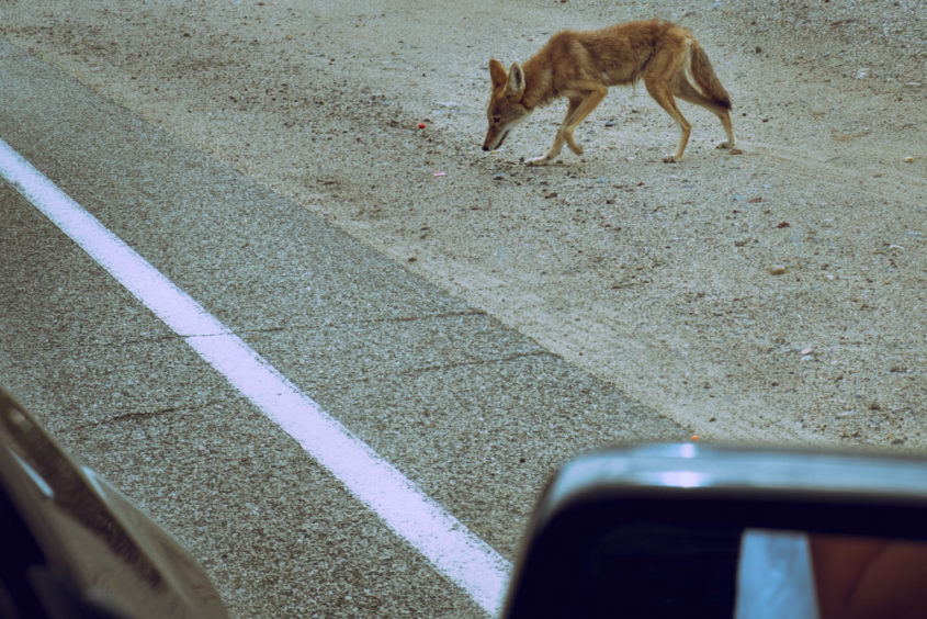 small coyote on the side of the road seen from car window
